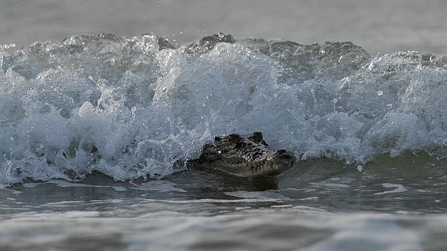 crocodile surfing