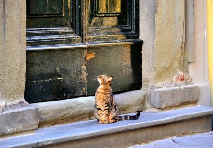 Gatto lucchese