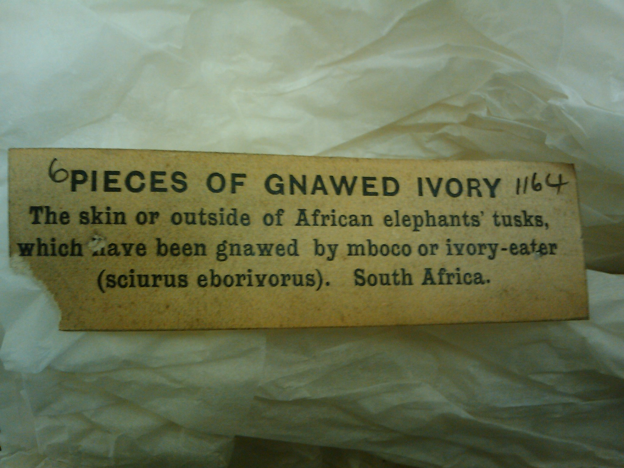 Piece of gnawed ivory label