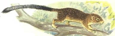 Stanger's squirrel