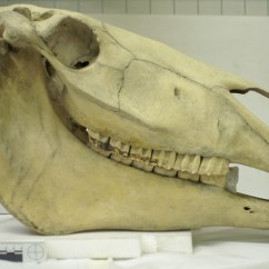 Horse Skull Diagram Blank Theatre Stage Friday Mystery Object 29 Answer Zygoma