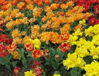 Tulpen im Britzer Garten