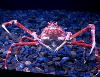 Große Seespinnen leben im Mittelmeer