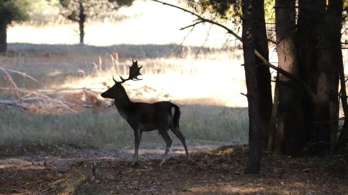 Ein Damhirsch sondiert die Lage im Wildgehege Glauer Tal
