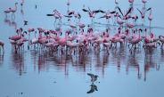Flamingos machen am Lake Kioko Urlaub