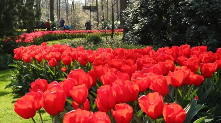 Üppige Tulpenpracht