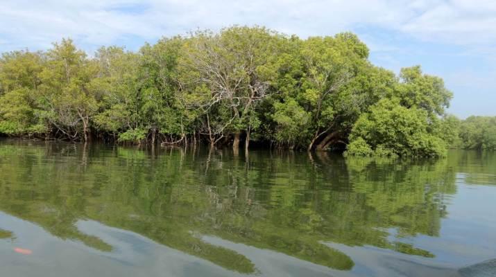 Die Mangroven stehen wie auf Stelzen im Wasser