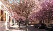 Kirschbaumblüte in der Altstadt von Werder