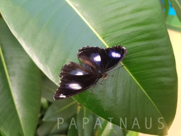 オーストラリアの蝶