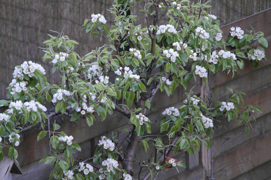 Perenboom-in-bloei