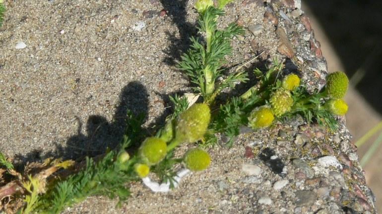 Resilienz der Pflanzen: Mauerblumen