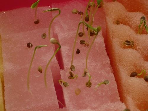 パクチー元気な発芽と萎れているもの