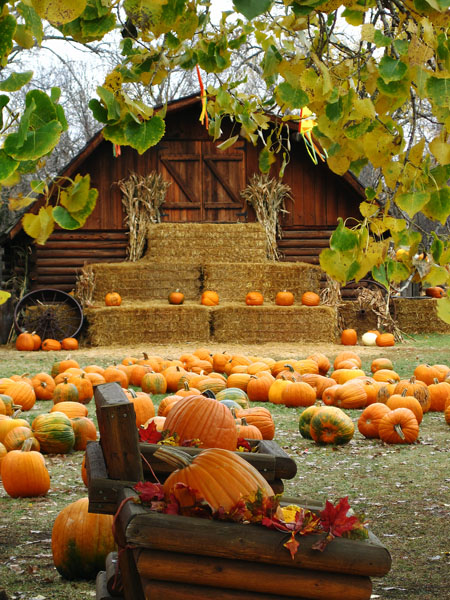 Free Fall Pumpkin Wallpaper Barn Scene Thru Leaves Lo Papa S Pumpkin Patch