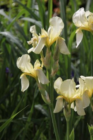 gul iris
