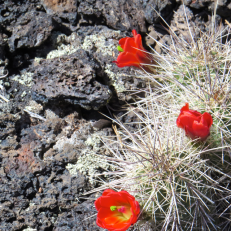 I found this type of cactus blooming in the lava beds, the bright red flowers look beautiful against the black rock.