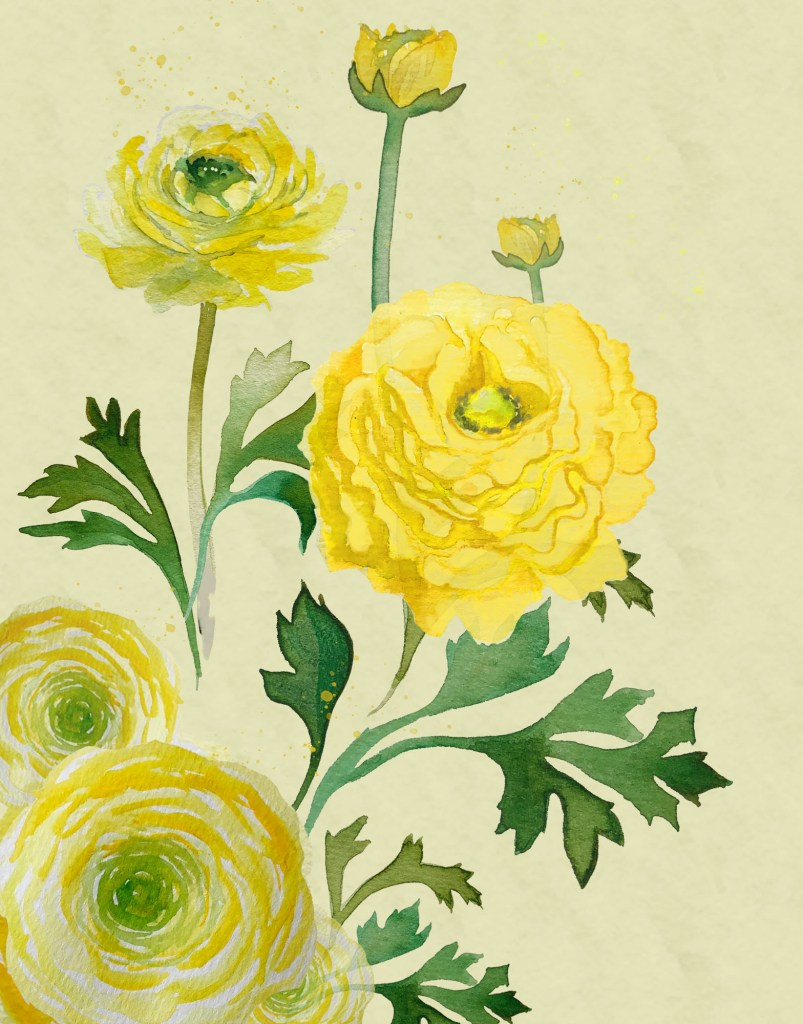 Watercolour illustration of yellow Ranunculus