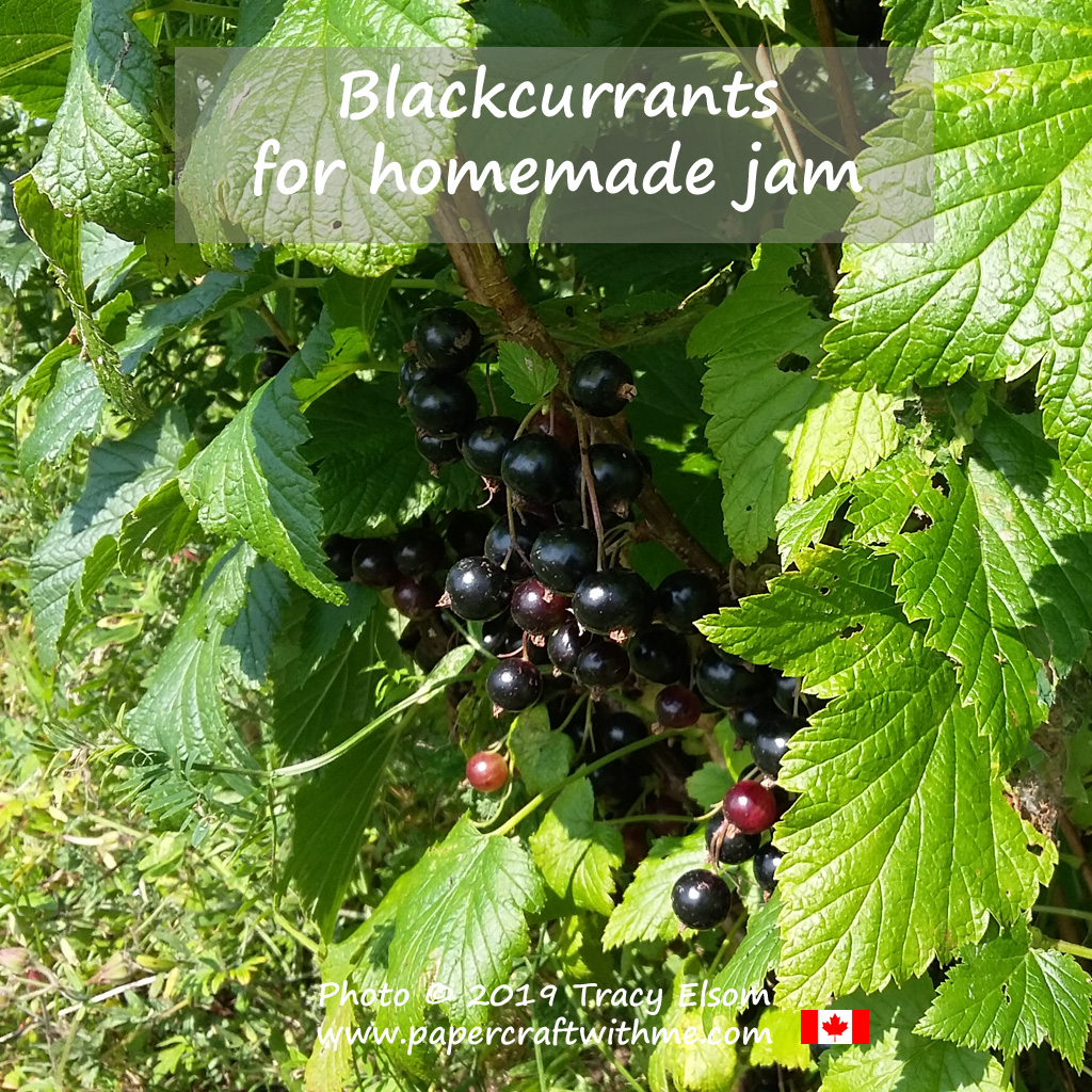 Blackcurrants growing in my garden almost ready to be turned into yummy blackcurrant jam.