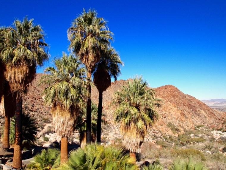 forty nine palms Oasis Joshua Tree National Park