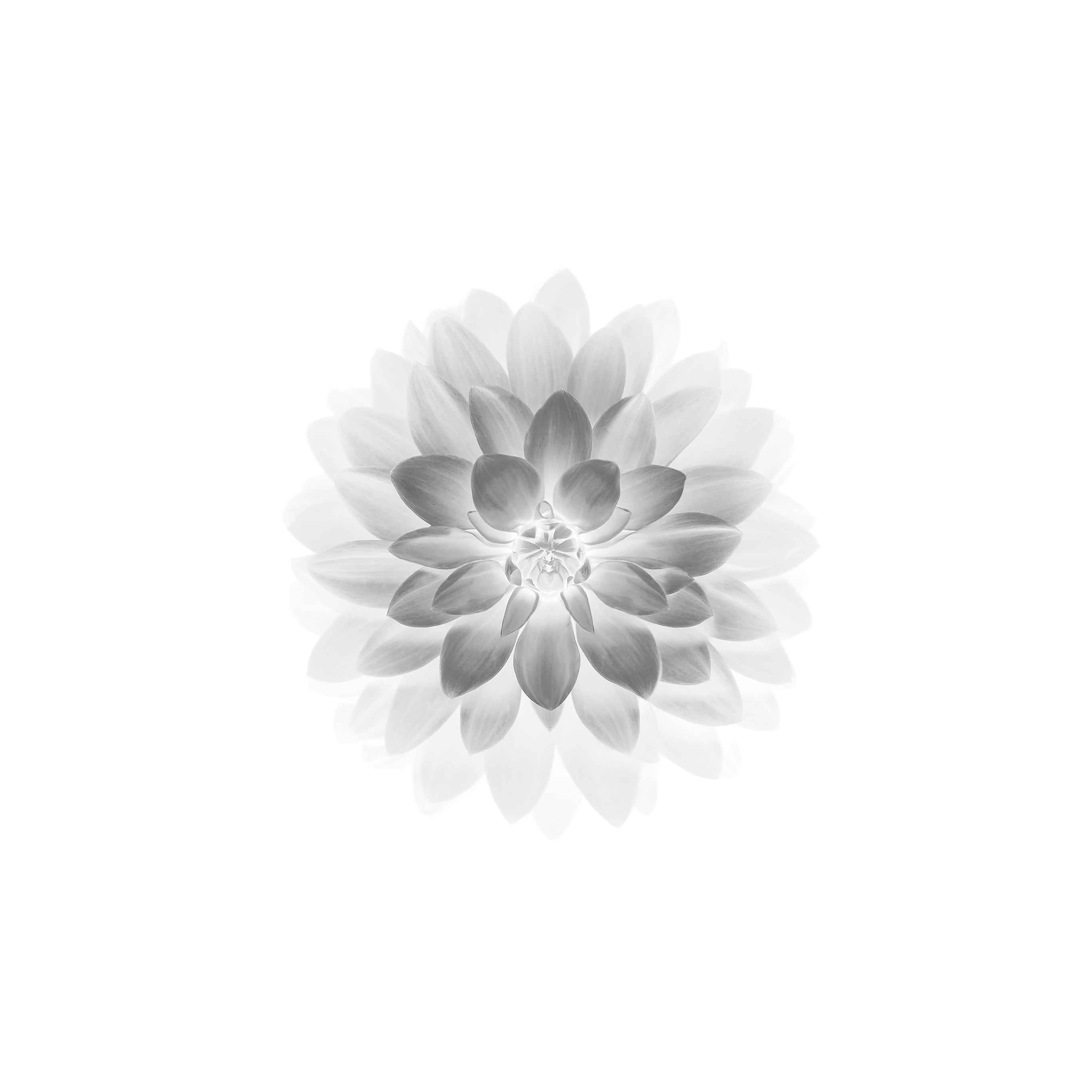 Apple Logo Iphone 5 Wallpaper Ad78 Apple White Lotus Iphone6 Plus Ios8 Flower Papers Co