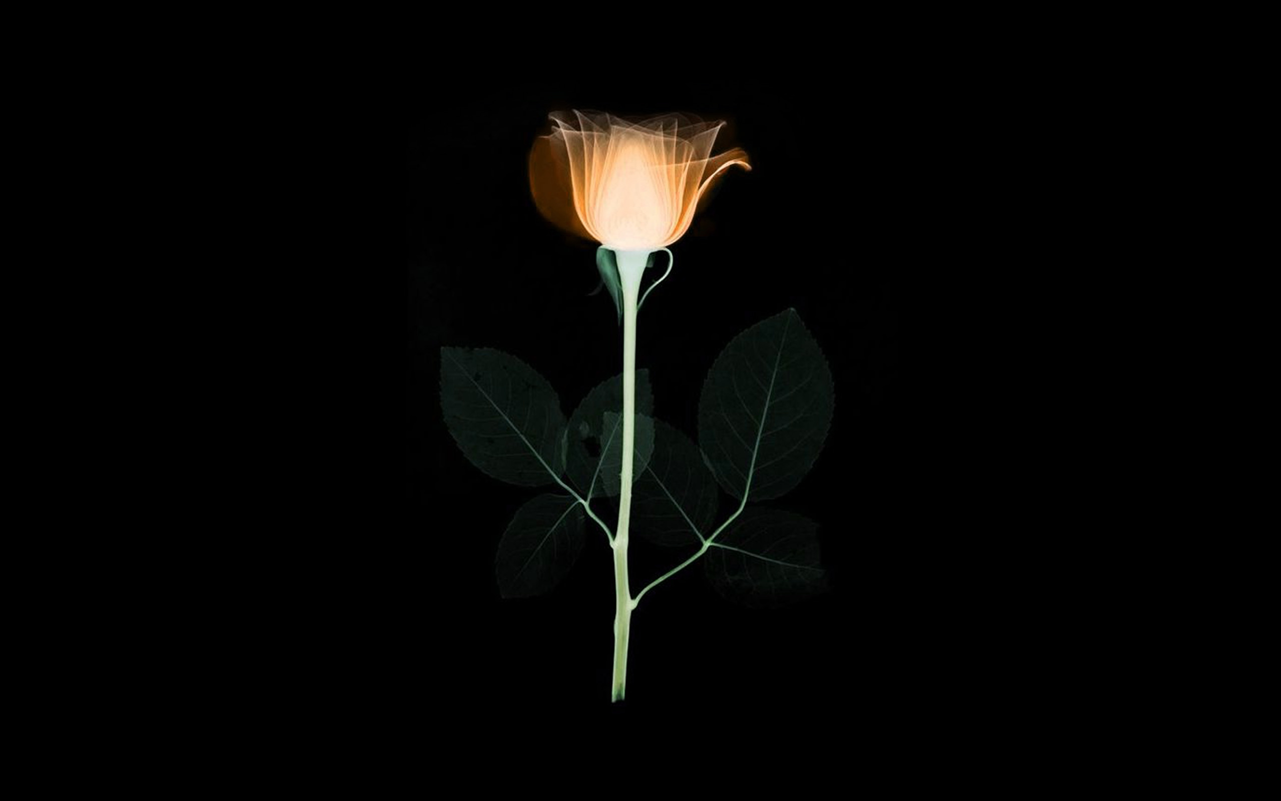 Iphone 8 Plus X Ray Wallpaper At75 Flower Xray Simple Minimal Orange Rose Dark Art