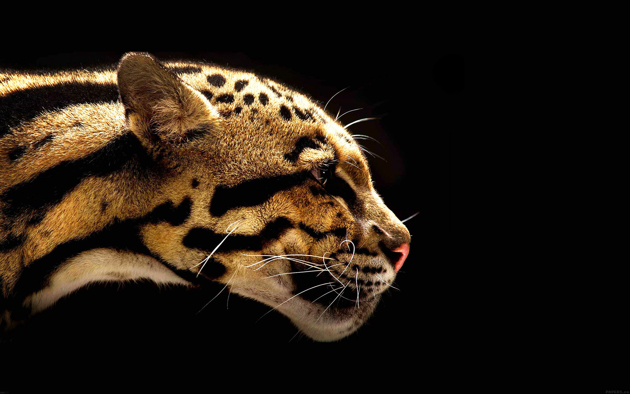 Wallpaper Hp Iphone X Mb77 Wallpaper Wild Cat B Animal Papers Co