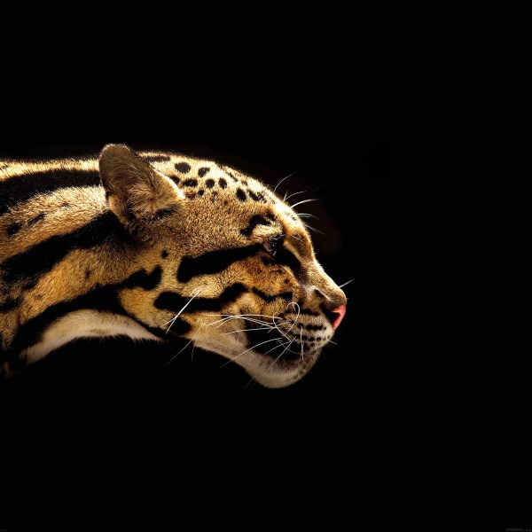 Mb77-wallpaper-wild-cat-animal
