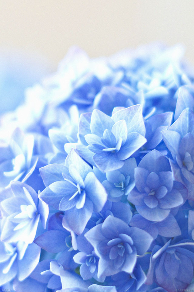 Sinon Cute Wallpaper Mg38 Blue Hortensia Flower Beautiful Nature Papers Co