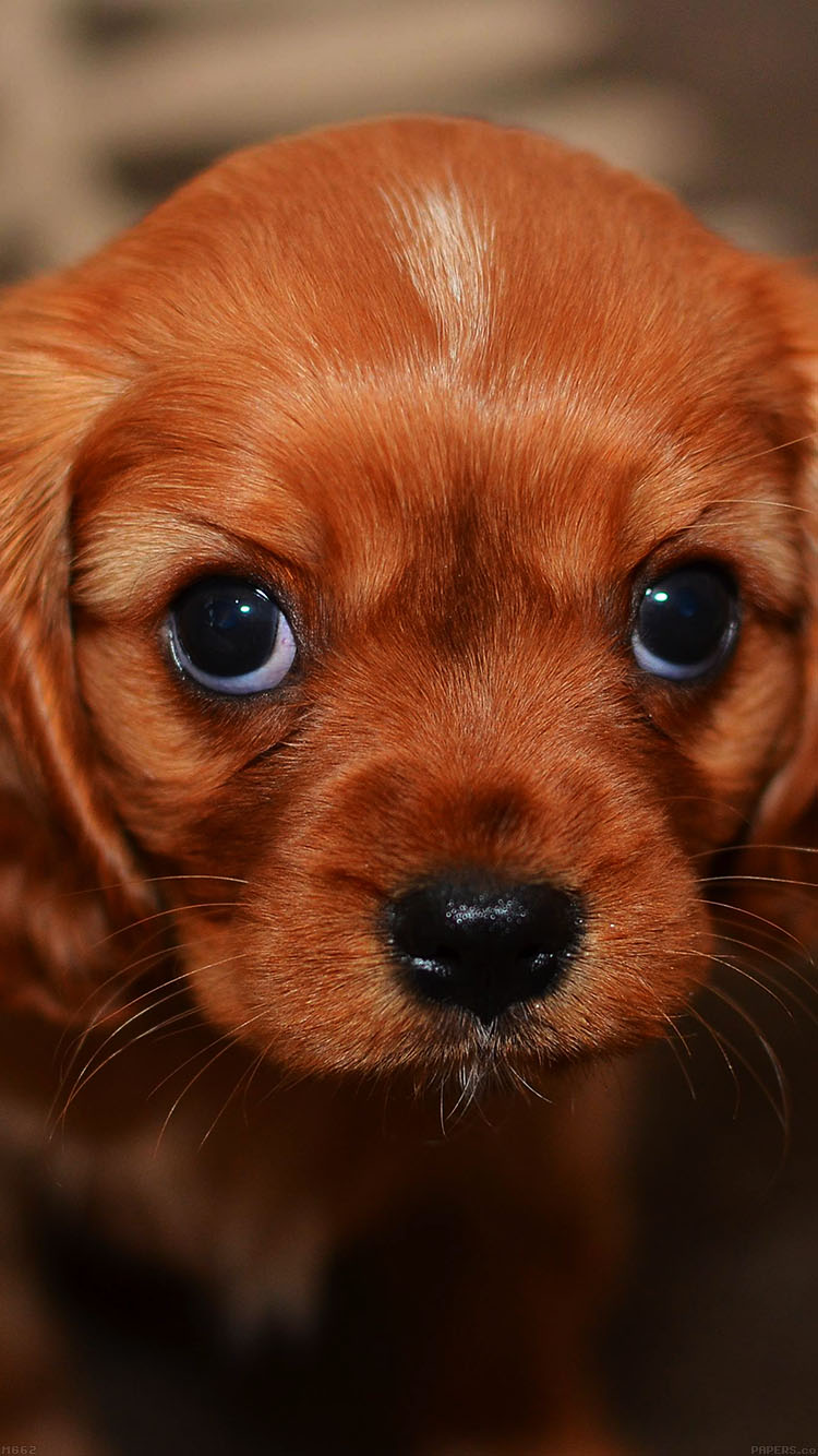 Cute Puppies Images Wallpapers Mg62 Cute Puppy Wallpaper Papers Co