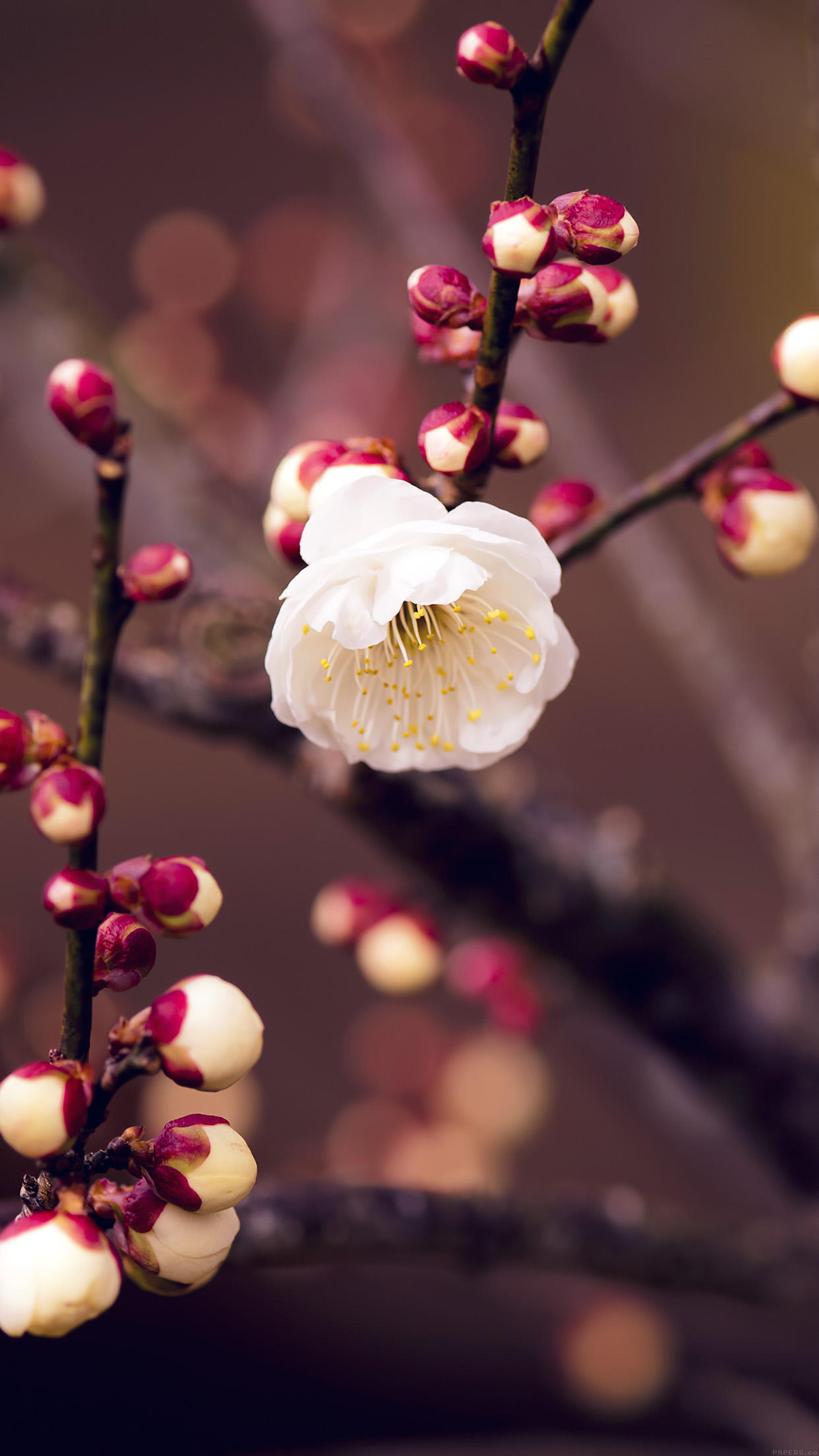 Fall Wallpaper Note 8 Mp15 Apricot Flower Bud Spring Nature Twigs Tree Papers Co