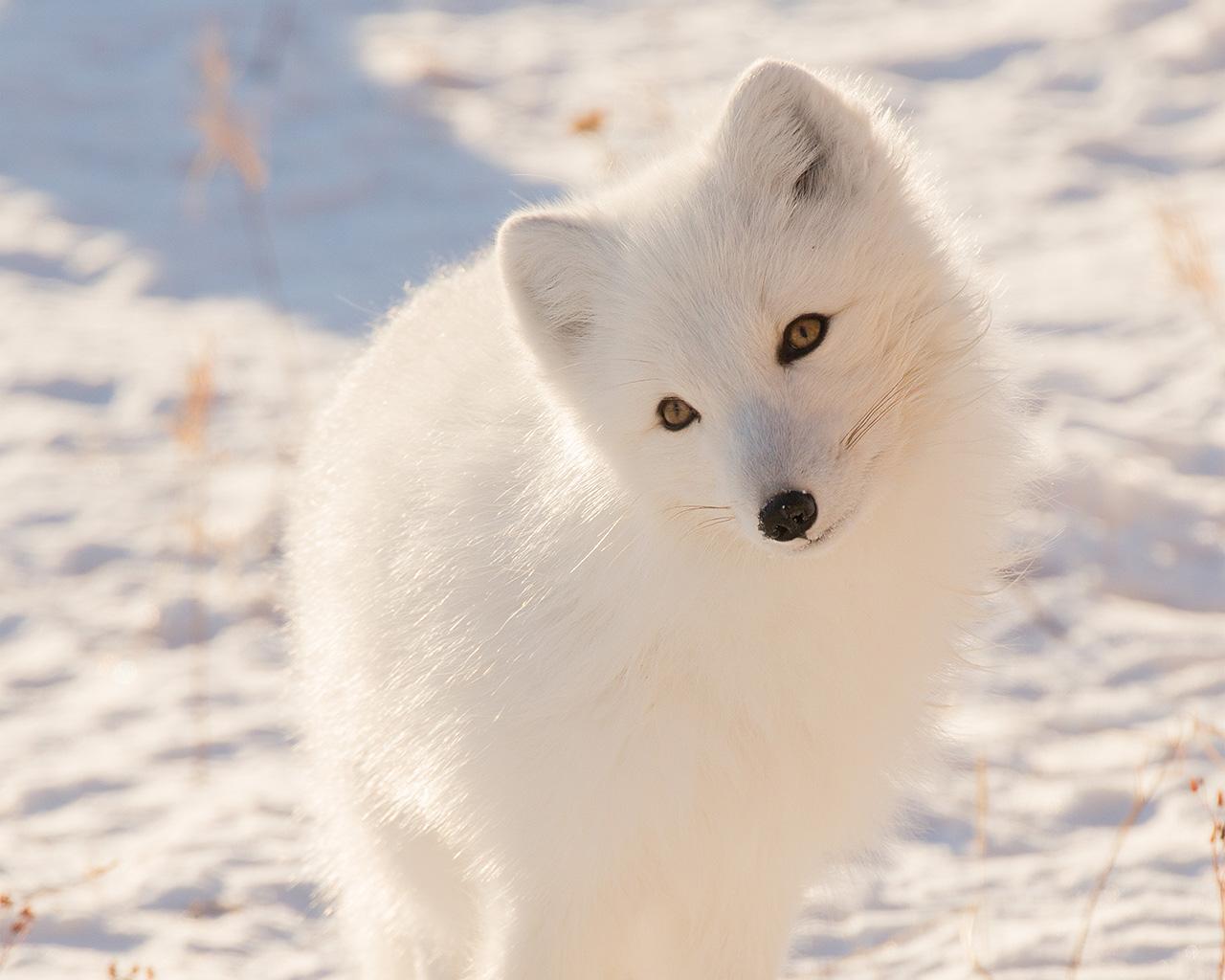 Fox Animal Wallpaper Mz77 Winter Animal Fox White Wallpaper