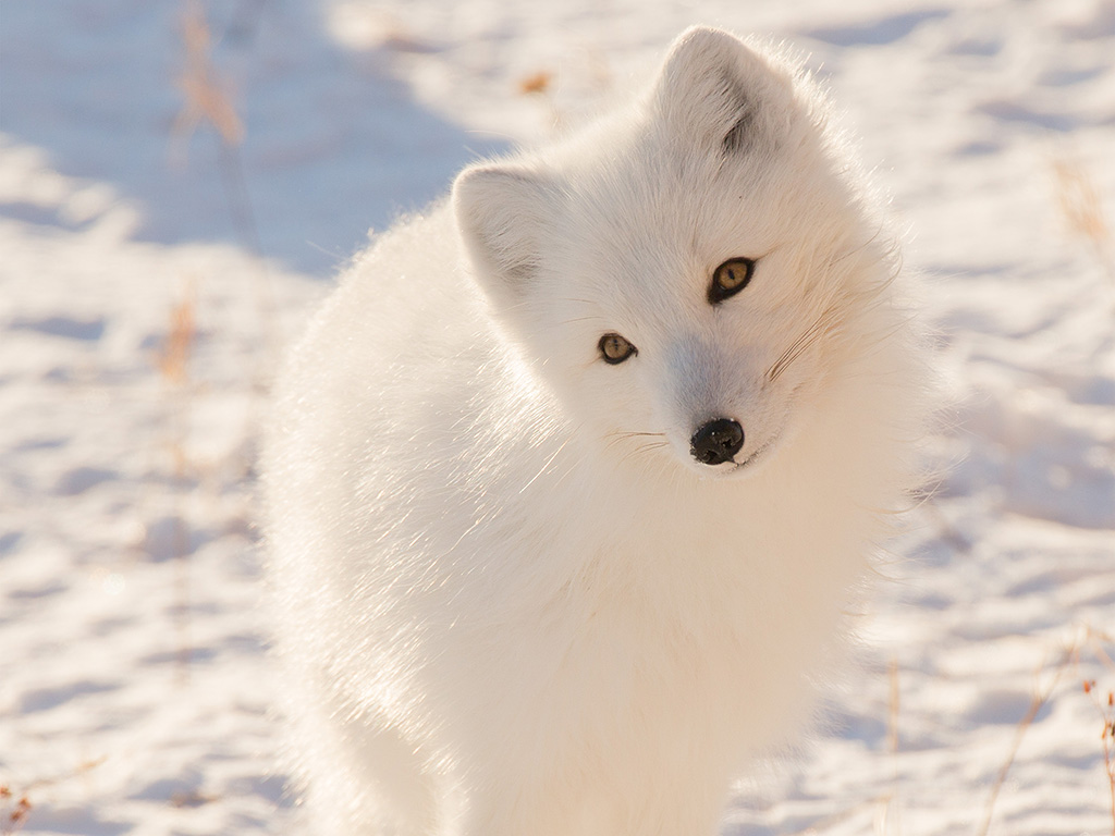 Wallpaper Fall Minimal Mz77 Winter Animal Fox White Wallpaper