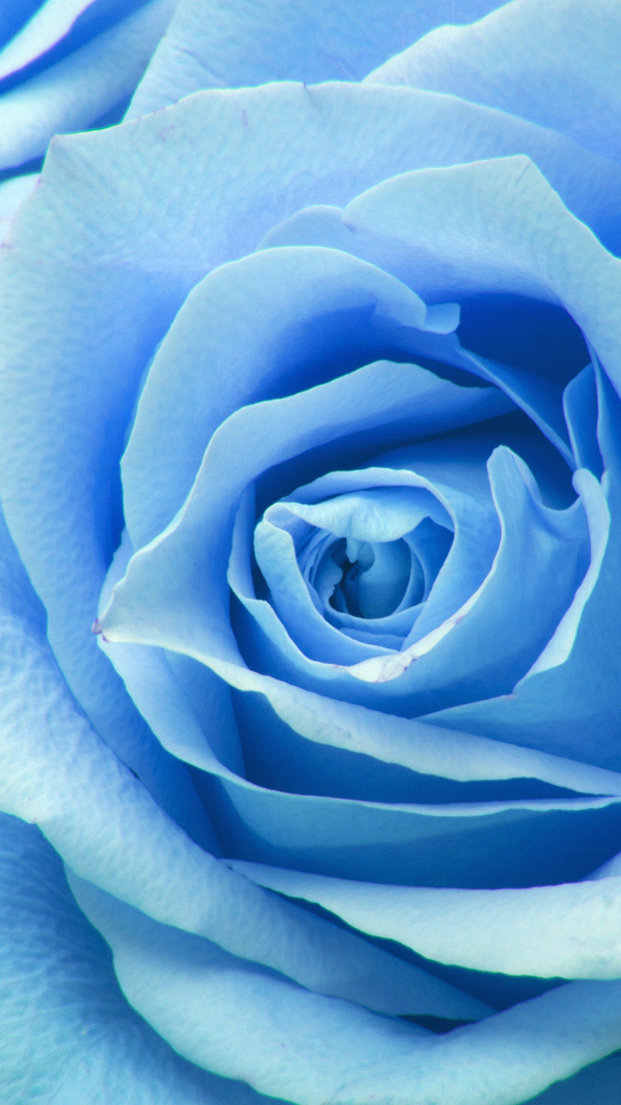 Cute Wallpapers For Iphone 6 Hd Ne44 Flower Blue Rose Zoom Love Wallpaper