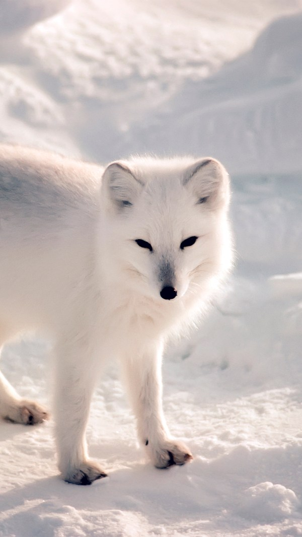 Artic Fox Animal Wallpaper iPhone