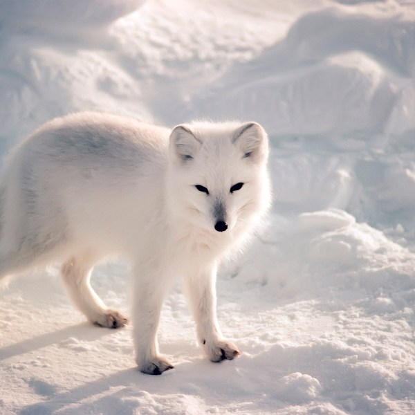 Winter White Fox Animal