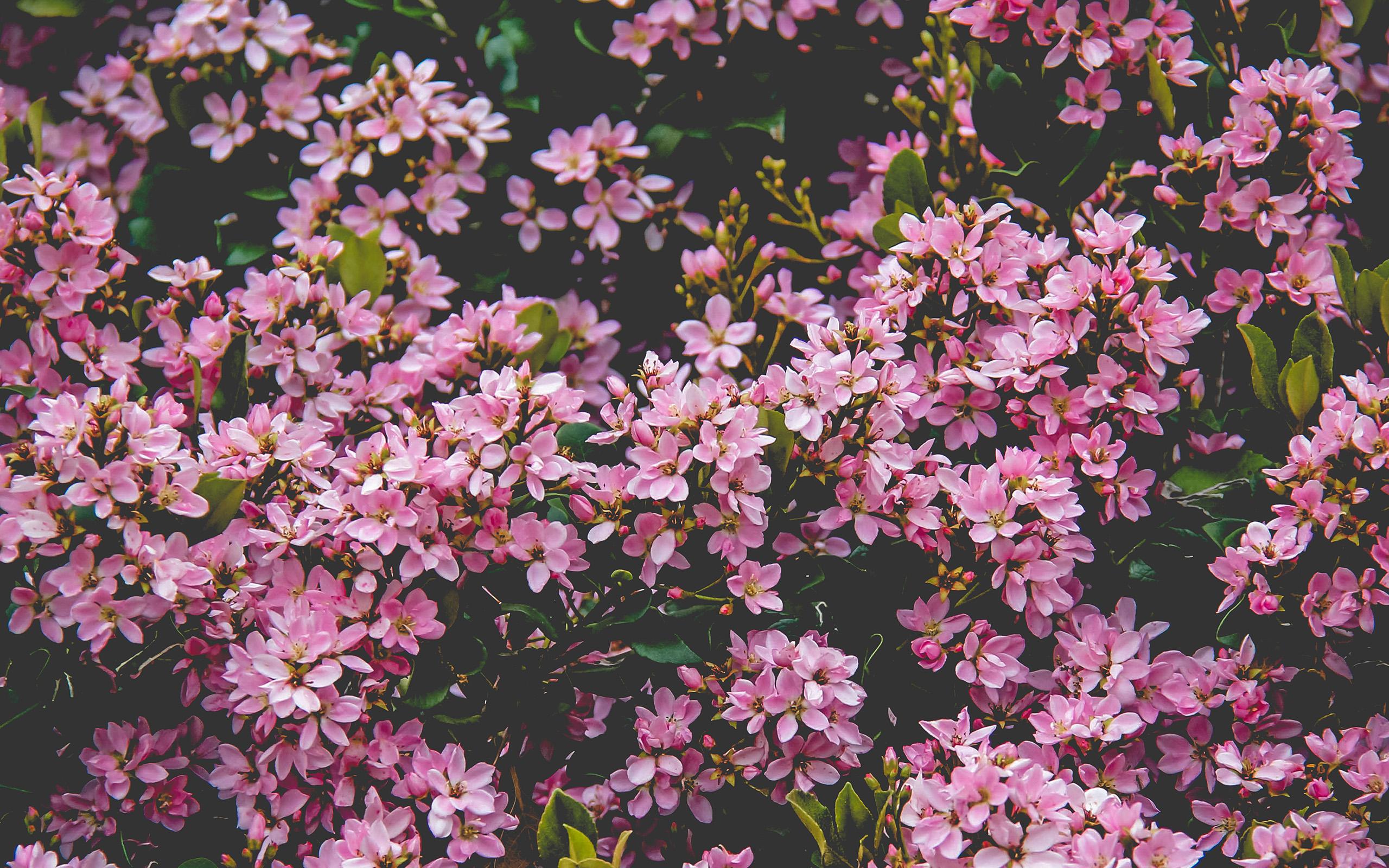 Pink Car Hd Wallpaper Nv68 Flower Pink Spring Happy Nature Wallpaper