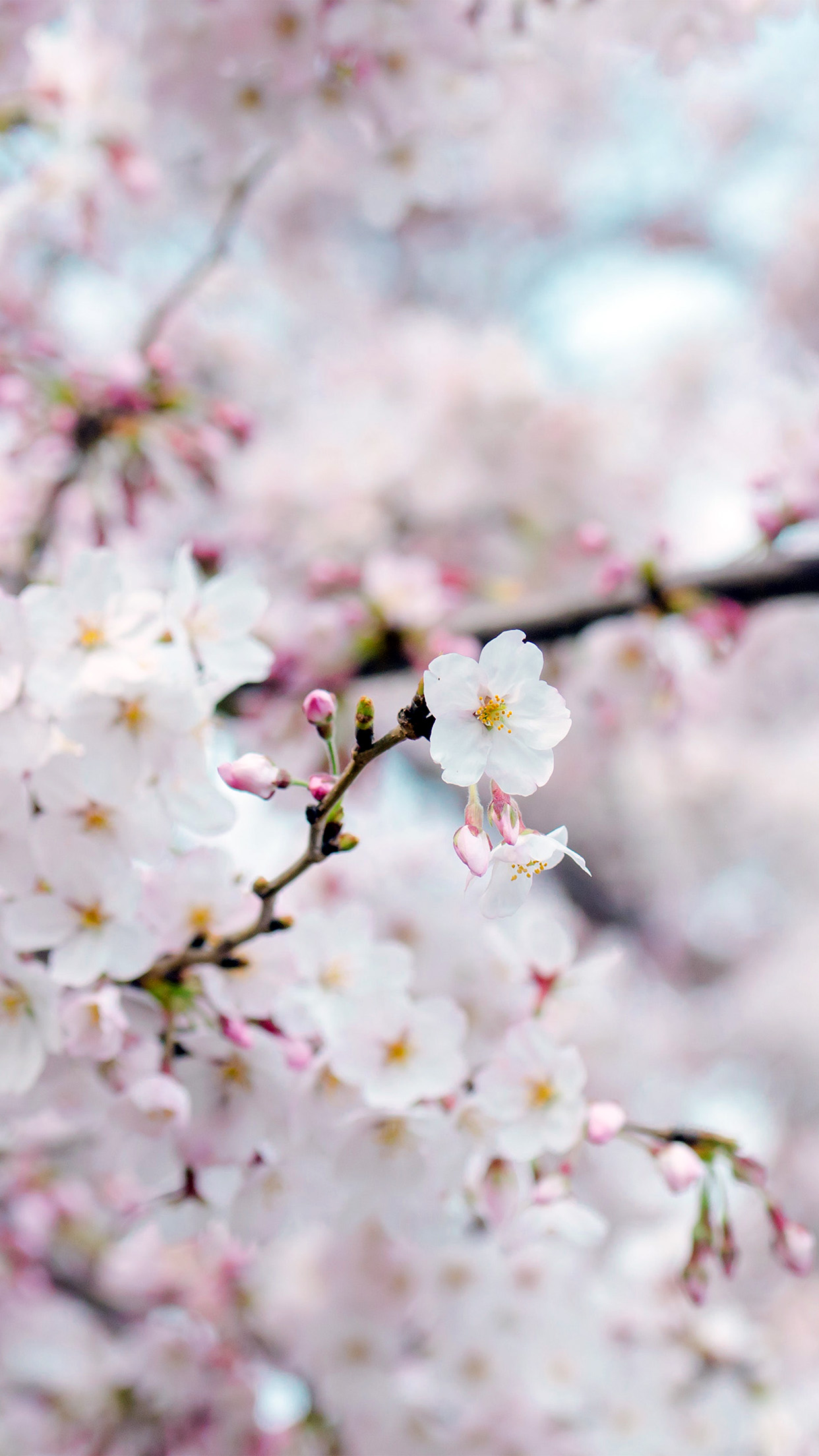 Cute Tree Wallpaper Nx70 Cherry Blossom Flower Spring Tree Bokeh Nature Wallpaper