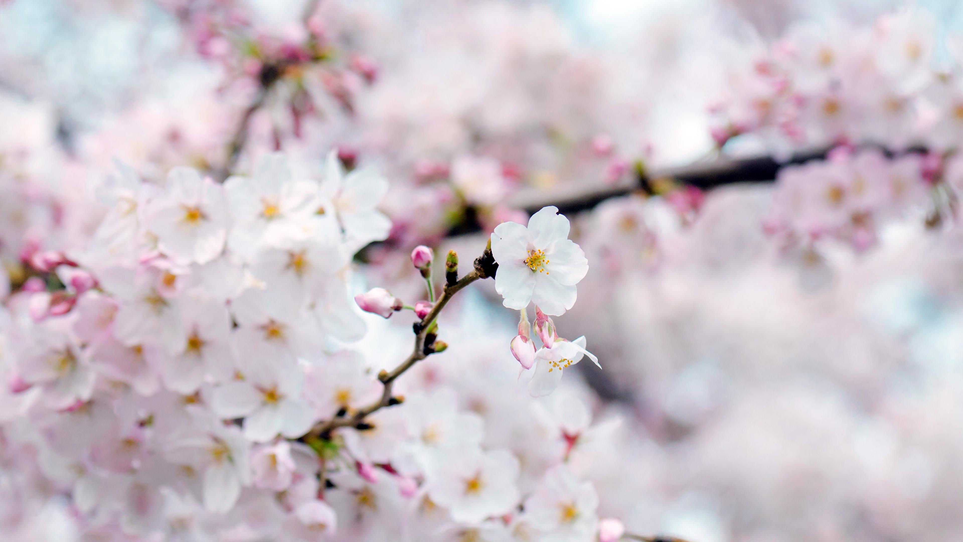 Iphone 7 Fall Wallpaper Nx70 Cherry Blossom Flower Spring Tree Bokeh Nature Wallpaper