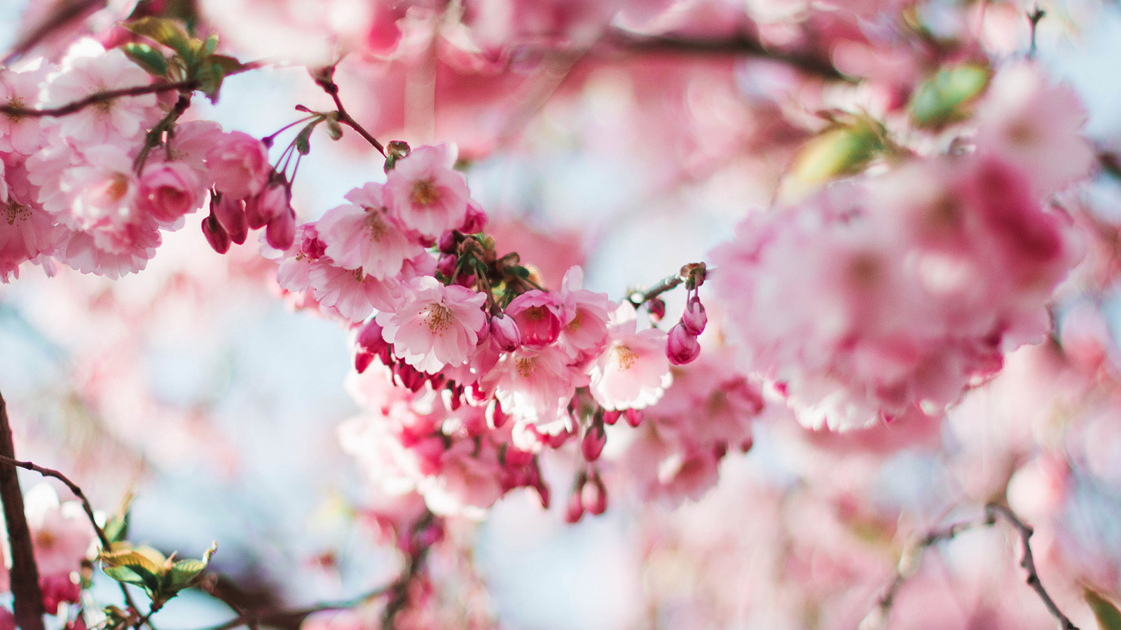 4k Fall Wallpaper For Phone Nx72 Spring Cherry Blossom Tree Flower Pink Nature Wallpaper