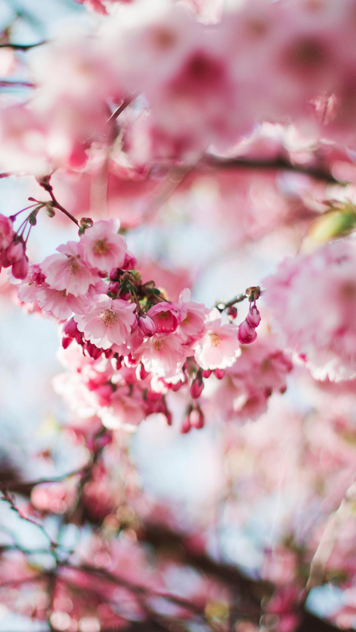 Iphone 5 Hd Wallpaper Retina Nx72 Spring Cherry Blossom Tree Flower Pink Nature Wallpaper