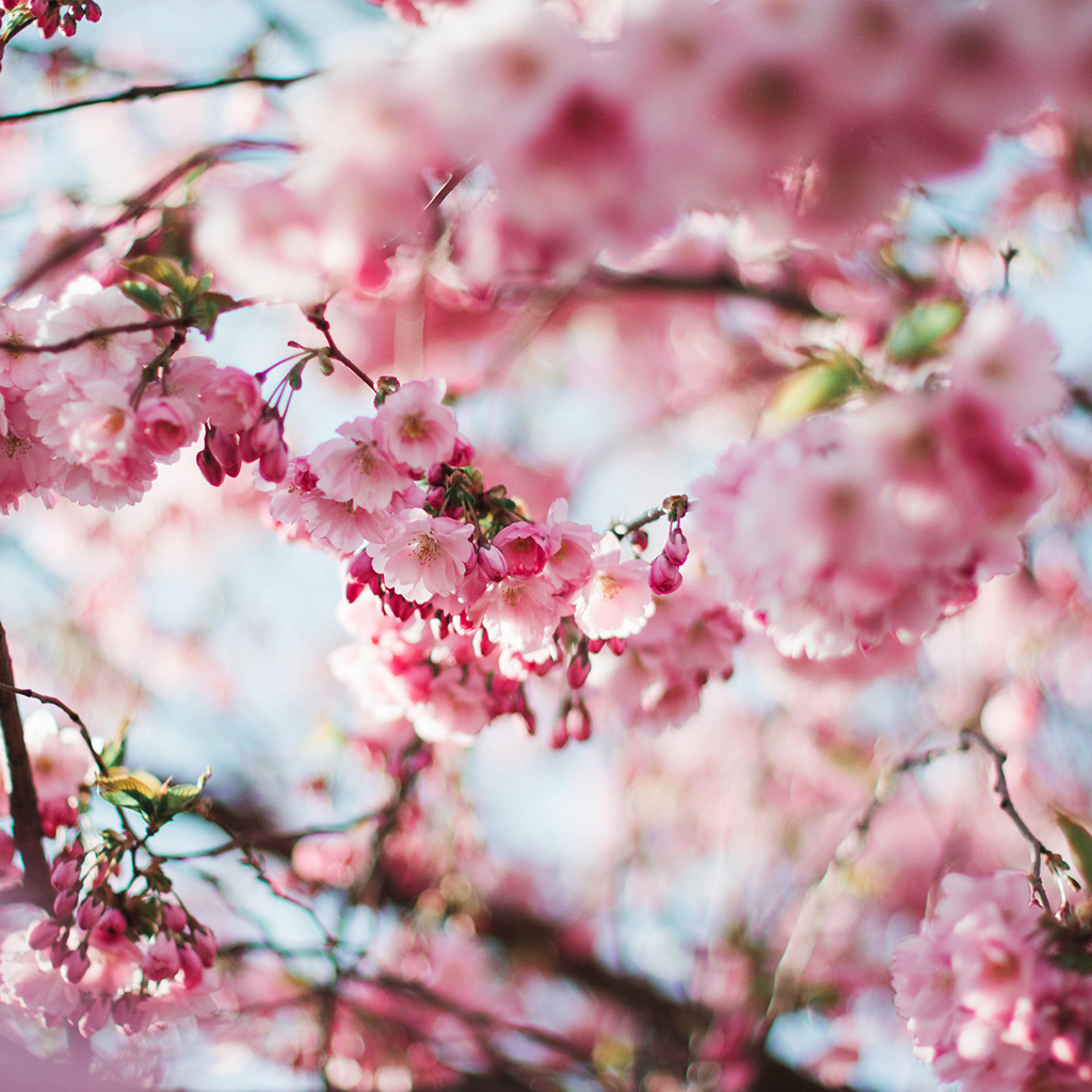 Pink Cherry Blossom Wallpaper Hd Nx72 Spring Cherry Blossom Tree Flower Pink Nature Wallpaper