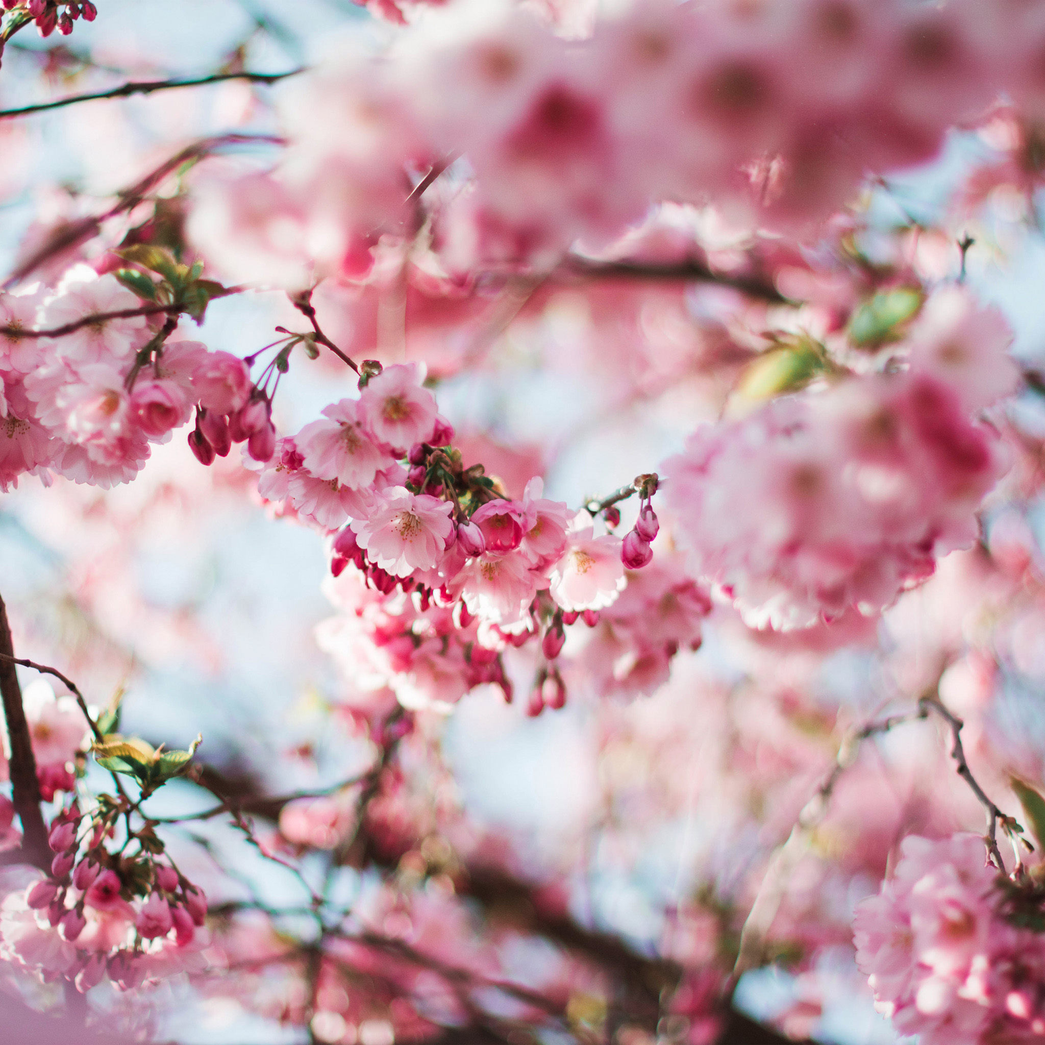 Cute Wallpaper Galaxy S4 Papers Co Android Wallpaper Nx72 Spring Cherry Blossom