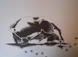 Natural History: Bobcat