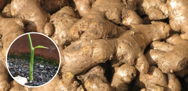 regrow ginger free cheap
