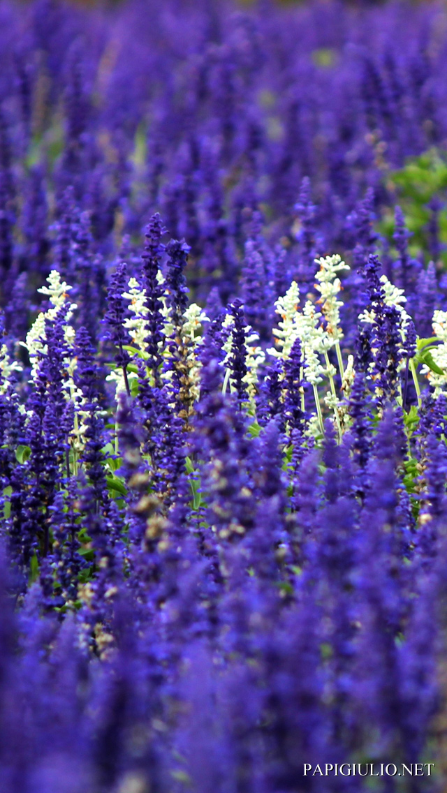 Free Japanese iPhone wallpaper download Hokkaido Flowers 2