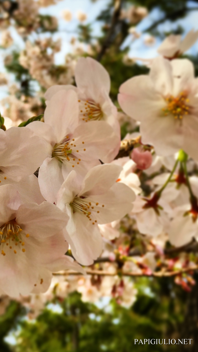 Free Japanese iPhone wallpaper download Ibaraki Sakura