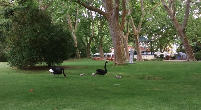 Família de Cisnes - Parque D. Carlos I, Caldas da Rainha