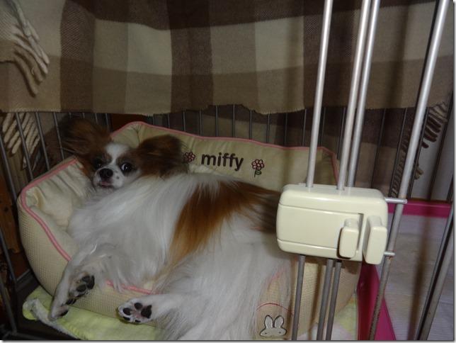 犬用ベッドで寝るアリア