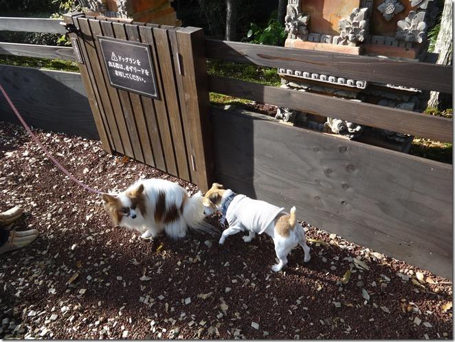 伊豆の愛犬と泊まれるホテルウブドの森のドッグランの個別空間内でジャックラッセルに追い詰められるアリア