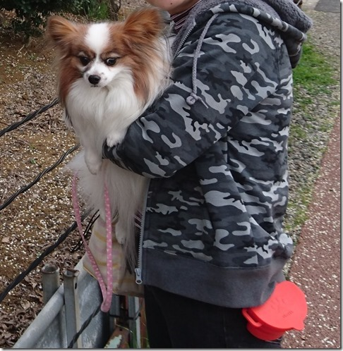 おやつポーチを着けたママに抱えられた愛犬パピヨンのアリア