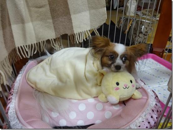 まあるいおもちゃにあご乗せする愛犬パピヨンのアリア